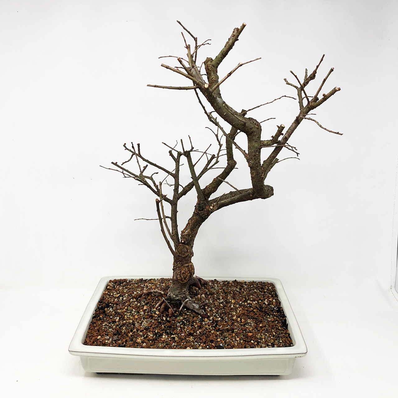 Large Ready to Bud Chinese Elm var  'Allee  (TWEB289) FREE SHIPPING