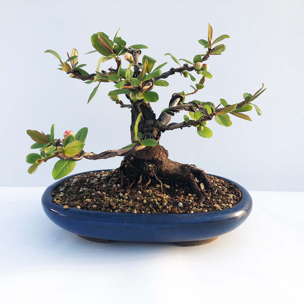 Red Flowering Quince Bonsai Tree I Bonsai Outlet