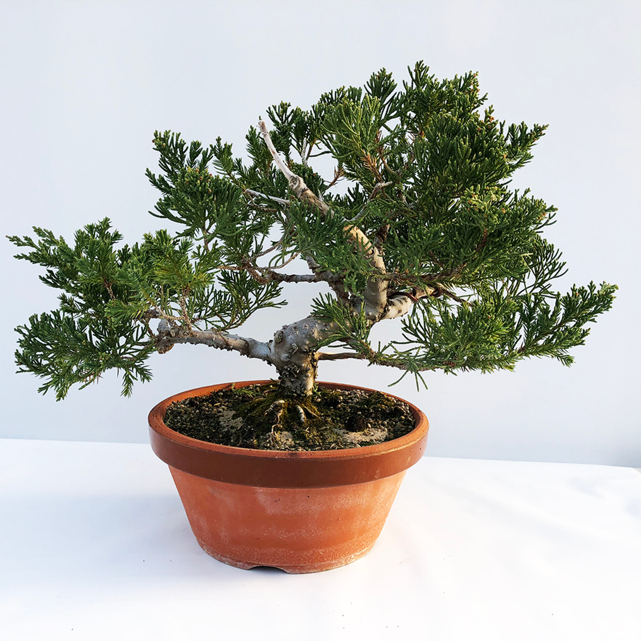 20 Year Old Juniper Bonsai Tree I Bonsai Outlet