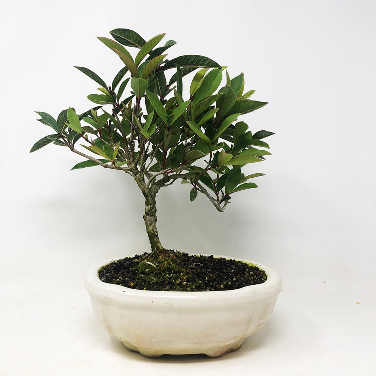 Dwarf Guava - Cream Pot Compliment the blooms and fruit of this species   (TWEB297) FREE SHIPPING