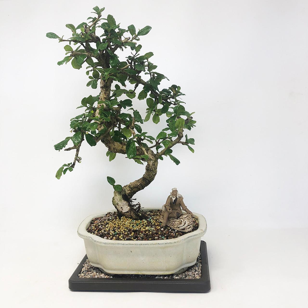 Flowering Fukien Tea Bonsai Tree Bonsai Outlet