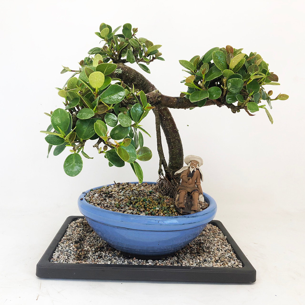 Green Island Ficus Bonsai Tree Bonsai Outlet