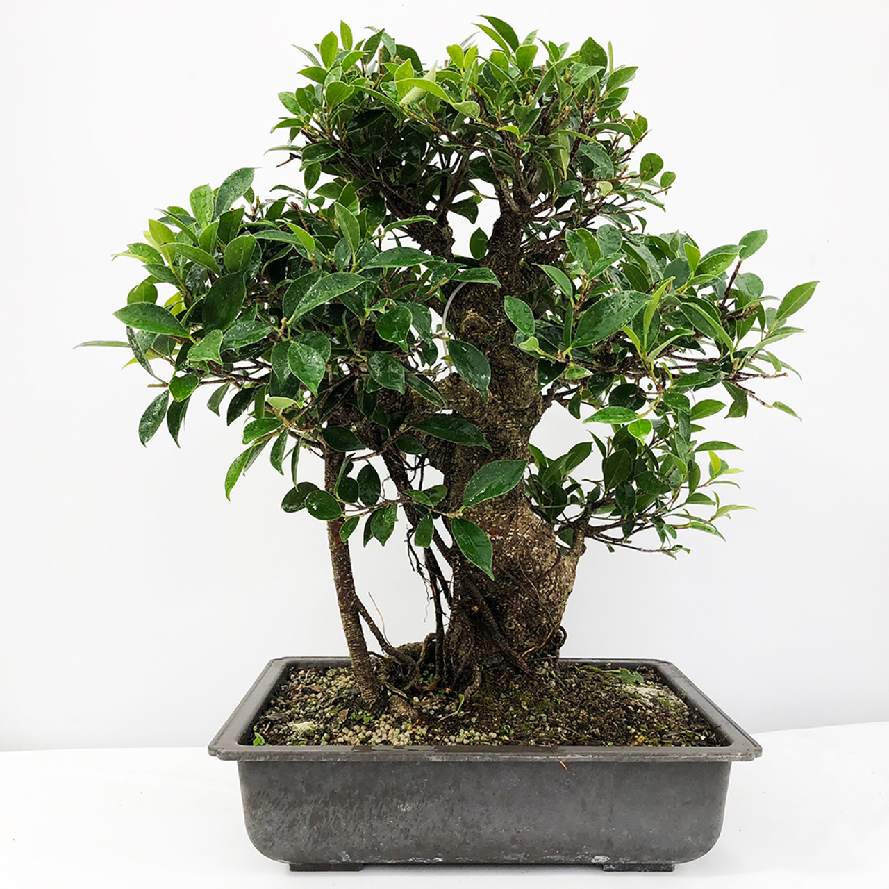 Ficus Retusa Tiger Bark Ficus Bonsai Tree Bonsai Outlet