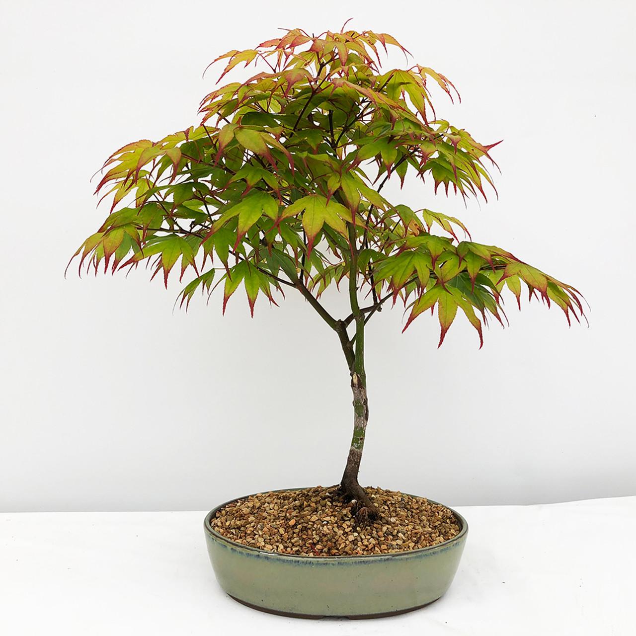 Tsuma Gaki Japanese Maple Bonsai Tree Bonsai Outlet