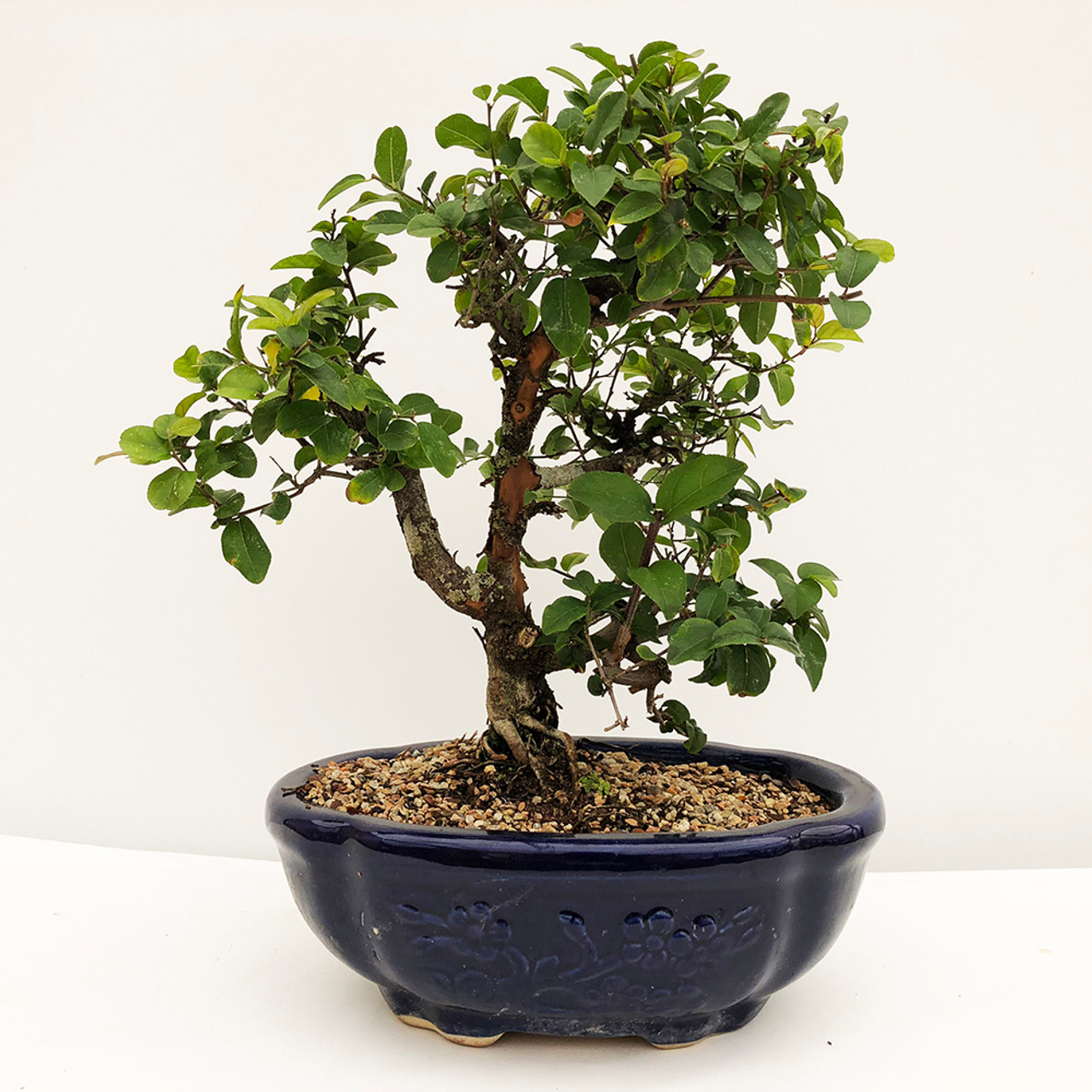 Chinese Sweet Plum Bonsai Tree Bonsai Outlet