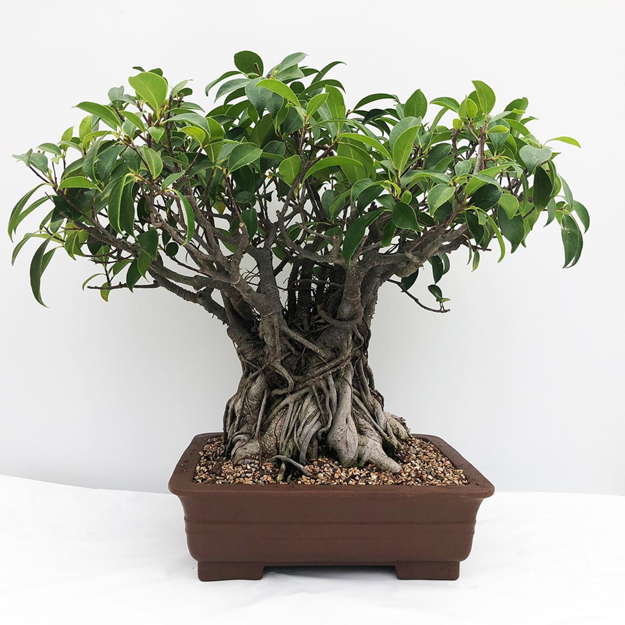 Large Tiger Bark Ficus Bonsai Tree Bonsai Outlet