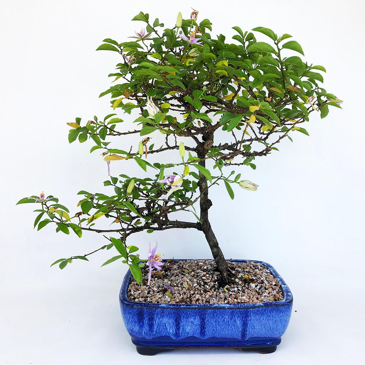 "Lavender Star Flower 4/"" Pre-Bonsai Tree Long Blooming Season"