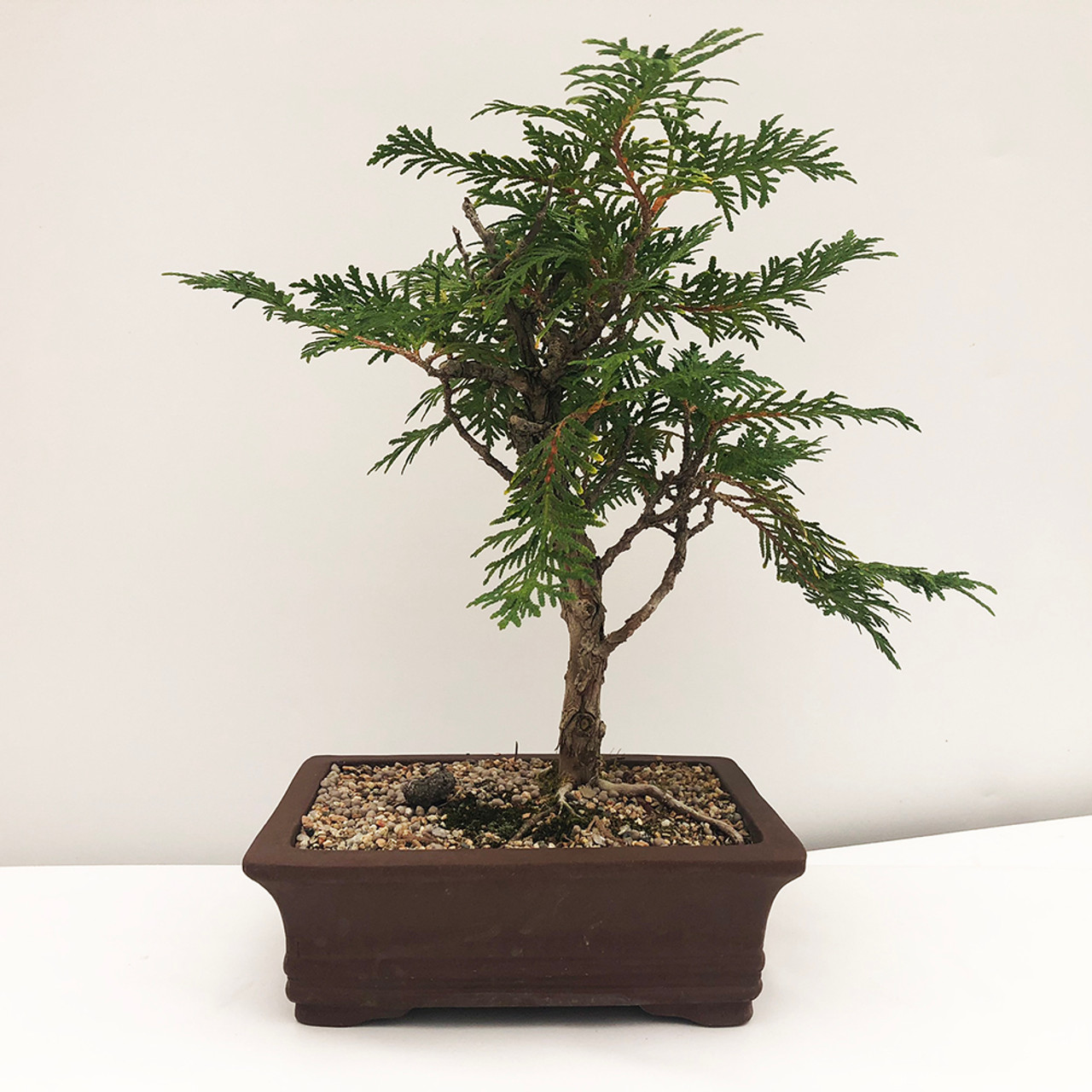 Eastern White Cedar Bonsai Tree I Bonsai Outlet