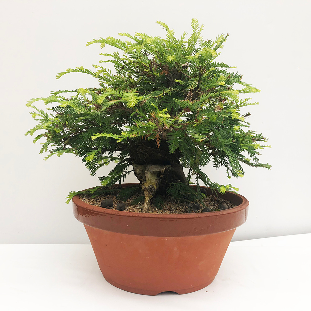 Collected Redwood Bonsai Tree I Bonsai Outlet
