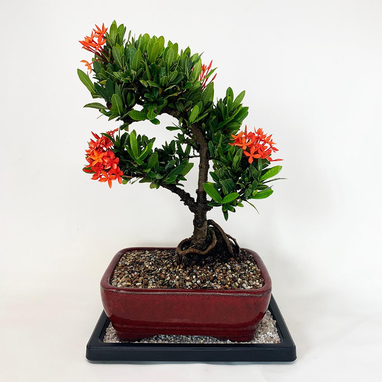 Dwarf Ixora Bonsai Tree Bonsai Outlet