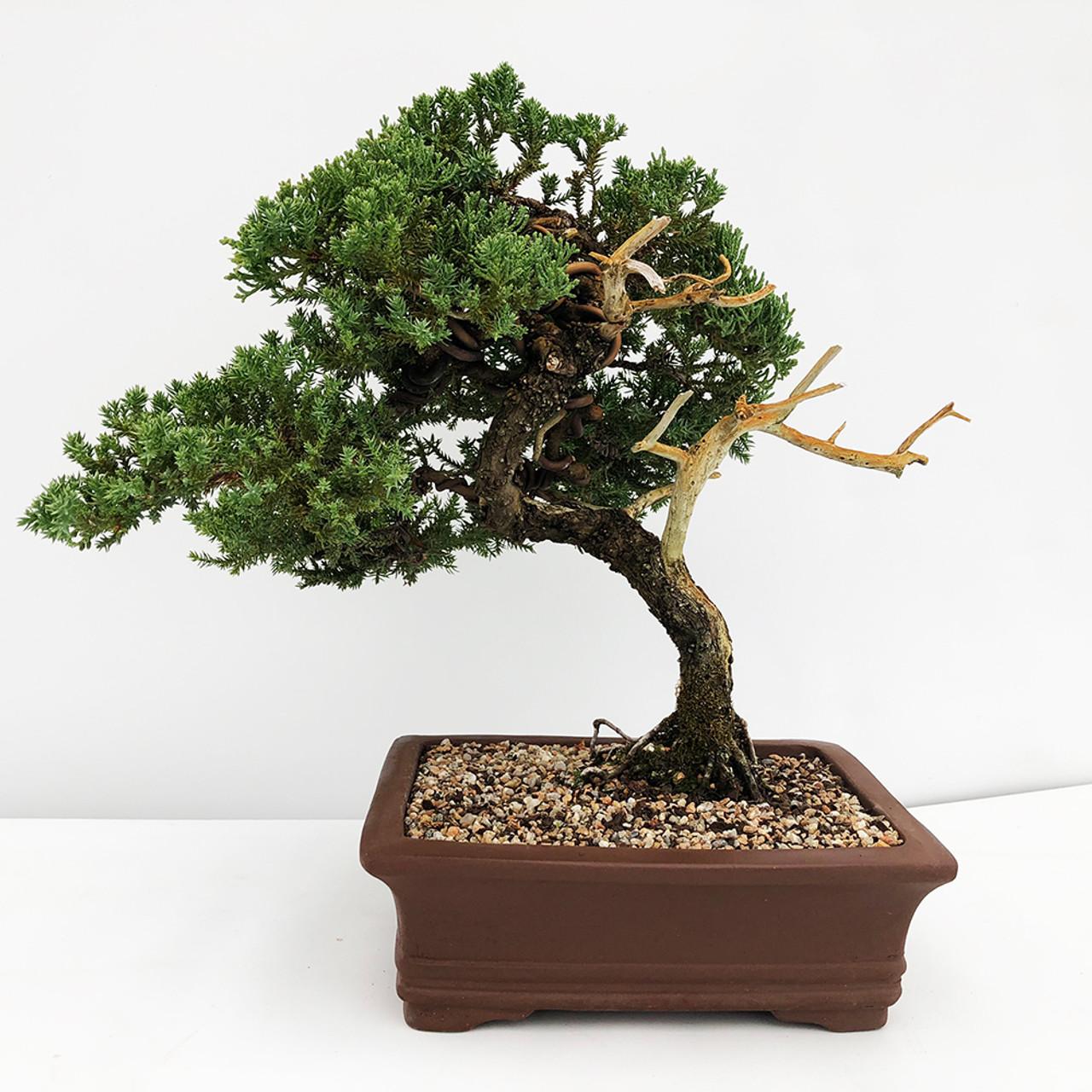 Old Juniper With Deadwood Bonsai Tree I Bonsai Outlet