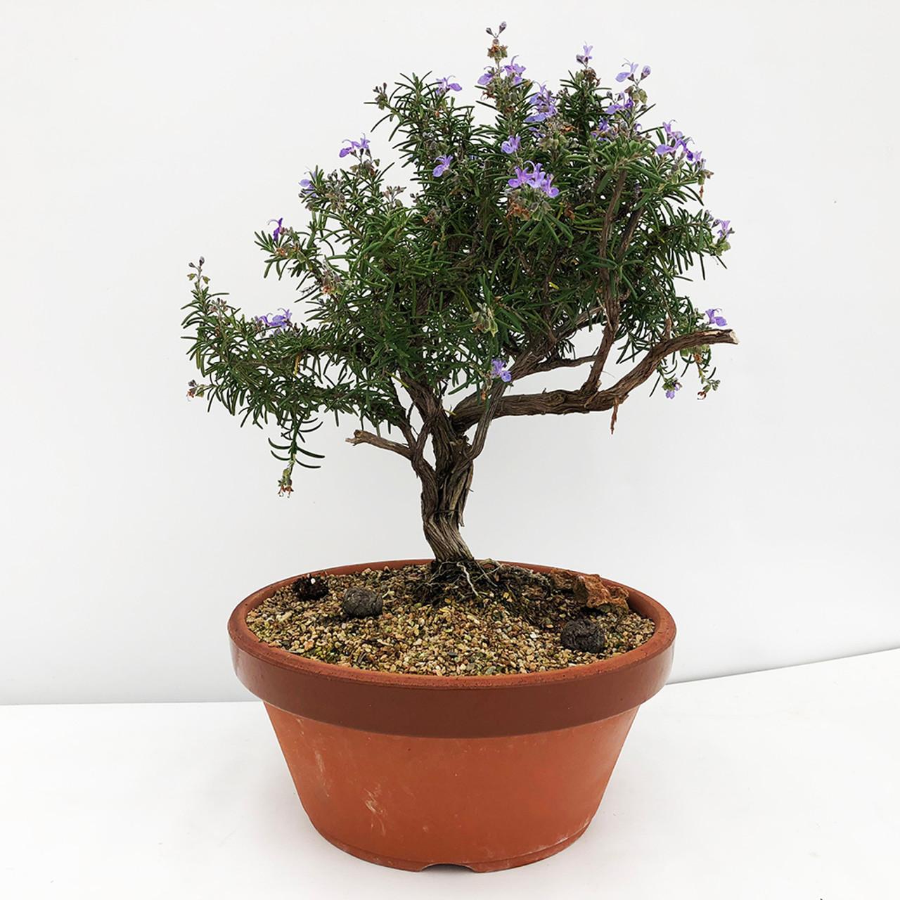 Single Trunk Rosemary Bonsai Tree I Bonsai Outlet