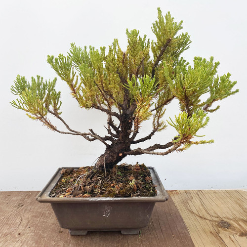 Quality Bonsai Trees Supplies 100 000 Trees Shipped