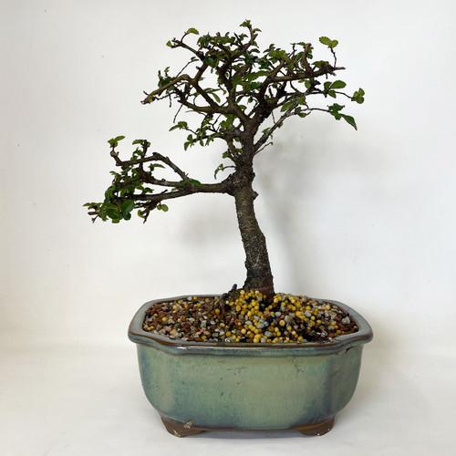 Chinese Elm Bonsai Tree Bonsai Outlet Twebce 06