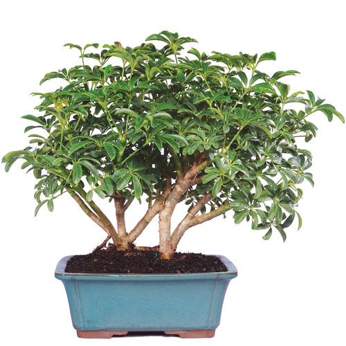 Beginner Bonsai Trees Bonsai Outlet