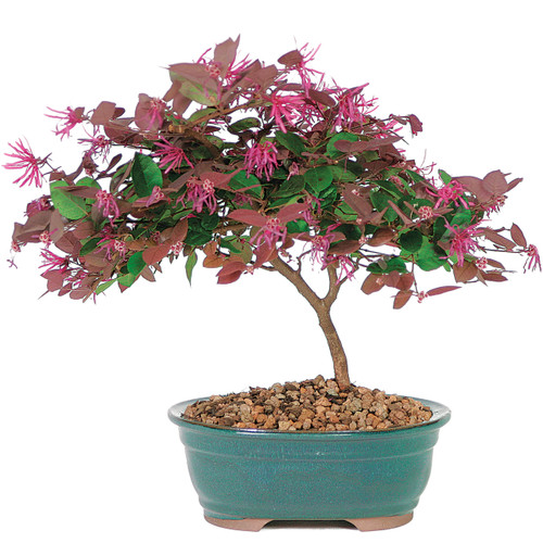 Bonsai Tree Bonzai Tree Bonsai Plants Indoor Bonsai