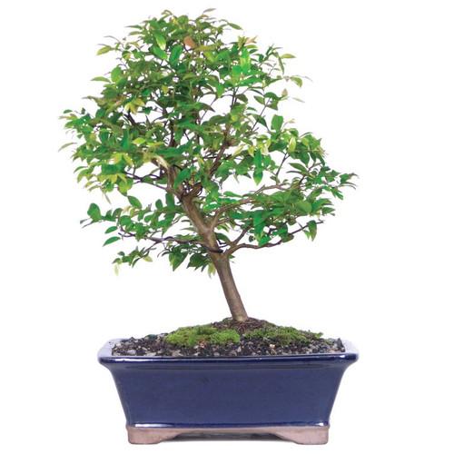 Exotic Jaboticaba Bonsai Tree (Indoor)