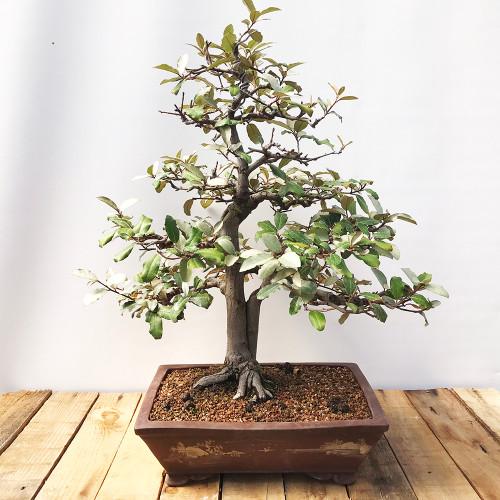 Bonsai Powder Puff Tree Bonsai Tree