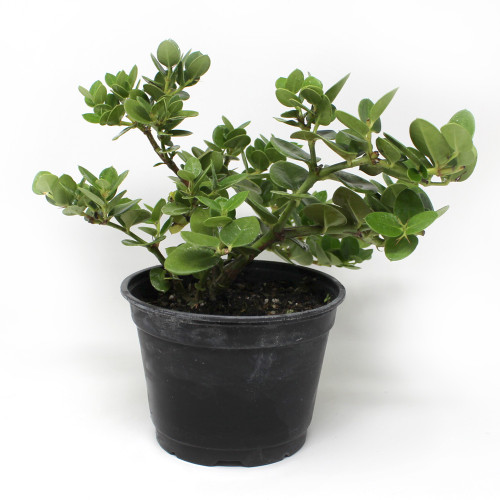 Flowering Natal Plum Bonsai Tree Kit At Bonsaioutlet Com