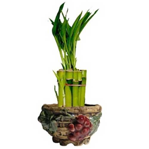Lucky Bamboo Arrangements | Bonsai Outlet