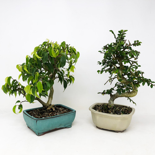 Chinese Elm (In / Out) - Bonsai Outlet