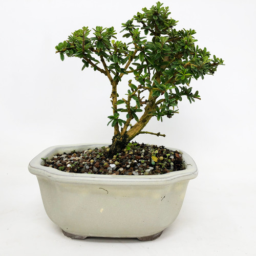 Indoor Bonsai Tree O Bonsai Outlet