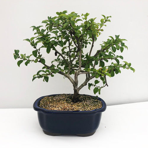Bonsai Tree | Bonzai Tree | Bonsai Plants | Indoor Bonsai