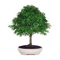 Maple Bonsai Trees