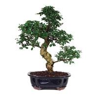 Fukien Tea Bonsai Trees