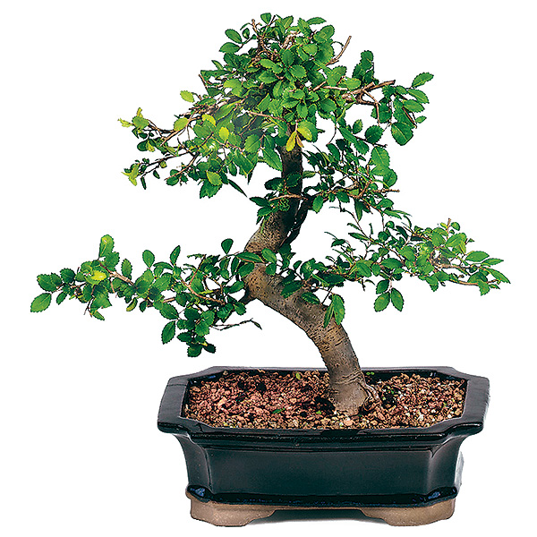 Chinese Elm Bonsai How To Care Bonsai Outlet