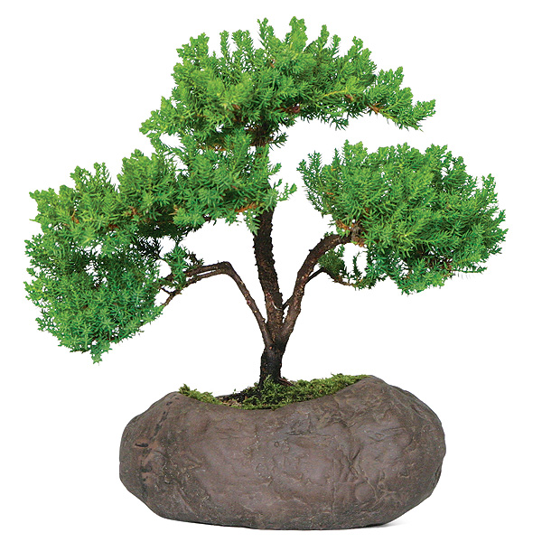 green-mound-juniper-bonsai-tree.jpg