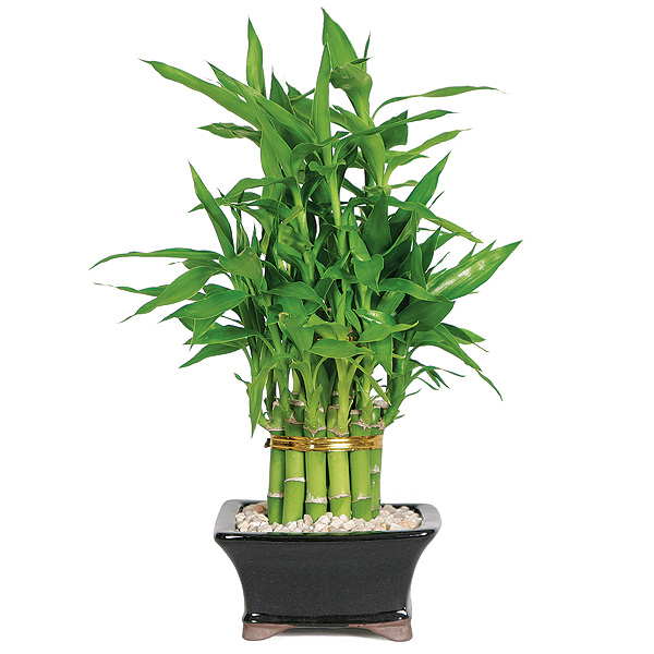 lucky-bamboo.jpg