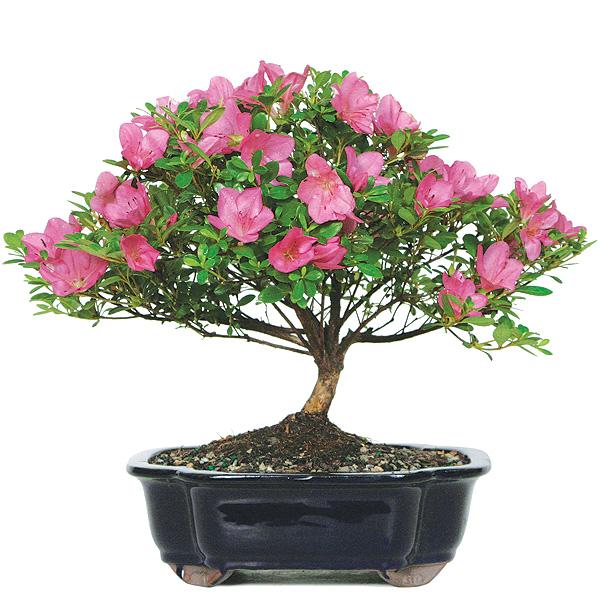 satsuki-azalea-bonsai-tree.jpg