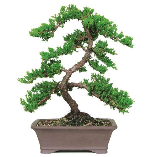 Green Mound Juniper Outdoor Bonsai Tree Bonsaioutlet Com