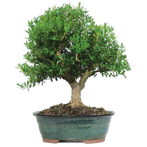 Harland Boxwood Bonsai Indoor Outdoor Bonsai Outlet