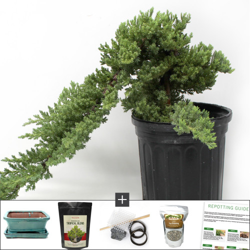 Refined and Upright Juniper Bonsai DIY Kit. Requires Wiring the Tree on