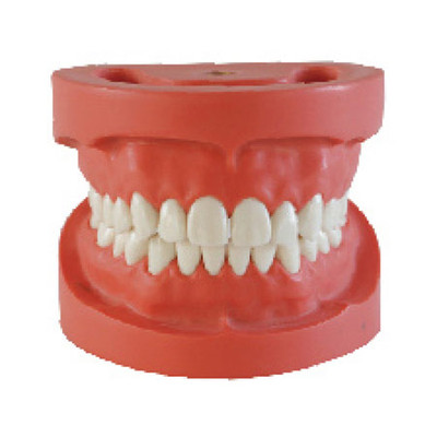 Dental standard model, hard gum, 28 teeth removable