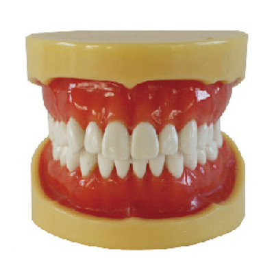 Dental standard model, hard gum, 28 teeth