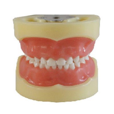 Dental standard children model, soft gum, 24 teeth