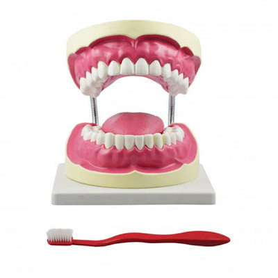 Demonstration model 32 teeth with over size brush
