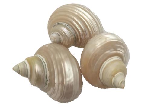 Telempu shells