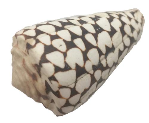 Dion Batik shell. Isn't nature amazing!