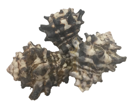 Mengkudu shells, great texture