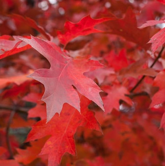 radiant red maple