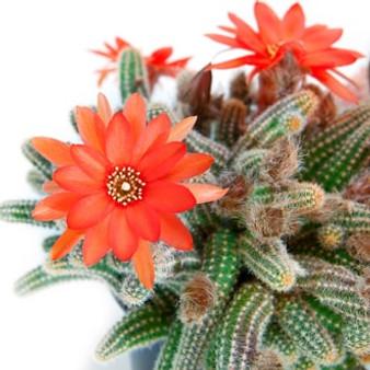 baja cactus blossom