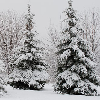 snow_capped_pines