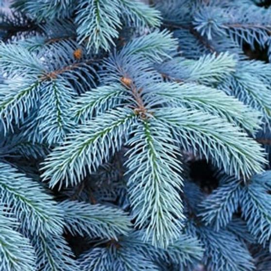 blue-spruce