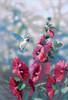 Dimensions - Hollyhocks in Bloom
