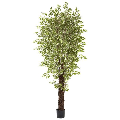 7.5ft  Variegated Ficus Silk Tree