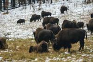 It's Official: National Bison Month
